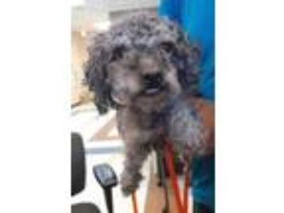 Adopt 41955699 a Gray/Blue/Silver/Salt & Pepper Poodle (Miniature) / Mixed dog