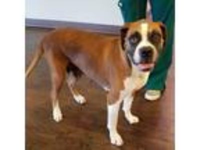 Adopt Joy a Brown/Chocolate Boxer / Mixed dog in Lewisville, TX (25901492)