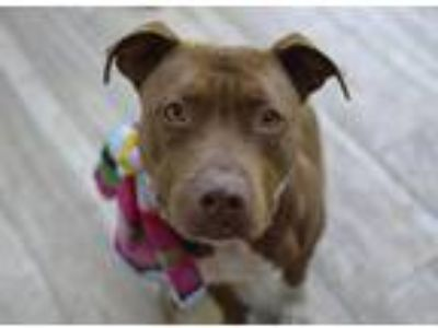 Adopt Dinah a Brown/Chocolate - with White American Pit Bull Terrier / American