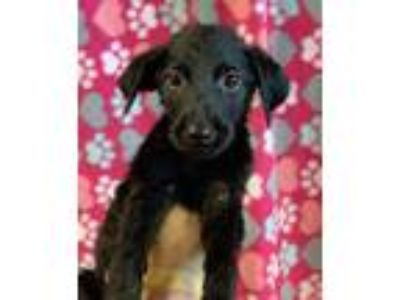 Adopt Sleepy Dwarf a Labrador Retriever, Mixed Breed