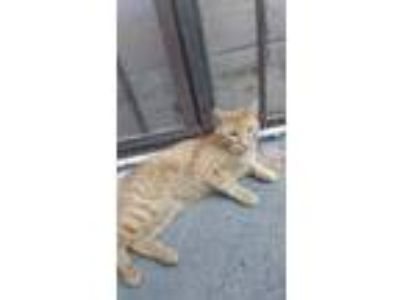 Adopt Orange a Orange or Red Domestic Shorthair / Mixed cat in Los Angeles
