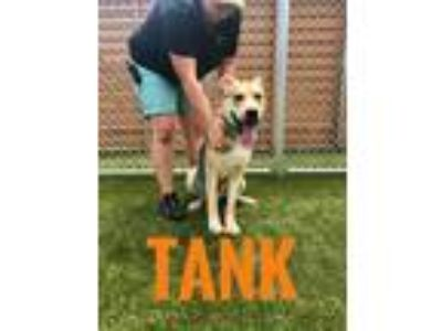 Adopt Tank a Shepherd (Unknown Type) dog in Mooresville, NC (25860561)