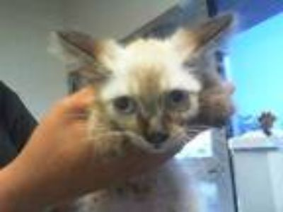 Adopt TANGO a Brown or Chocolate (Mostly) Siamese / Mixed (short coat) cat in