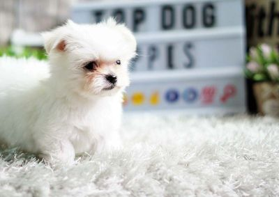 Diesel the Teacup Maltese ($2,400)