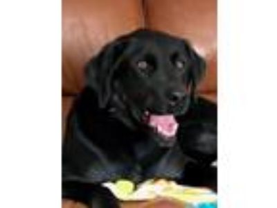 Adopt Bo a Black Labrador Retriever / Mixed dog in LaGrange, KY (25180152)