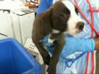 Adopt COOPER a Brown/Chocolate - with White Labrador Retriever / Mixed dog in