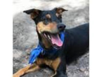 Adopt Letty a Doberman Pinscher dog in Gainesville, FL (25049148)