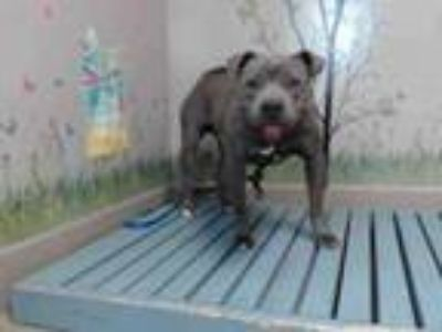 Adopt SMILEY a Pit Bull Terrier