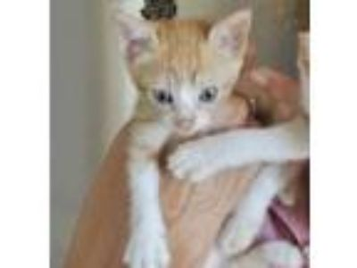 Adopt Lila a Orange or Red Domestic Shorthair / Domestic Shorthair / Mixed cat