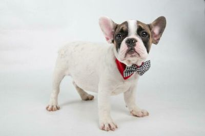 French Bulldog PUPPY FOR SALE ADN-108834 - MALE FRENCH BULLDOG