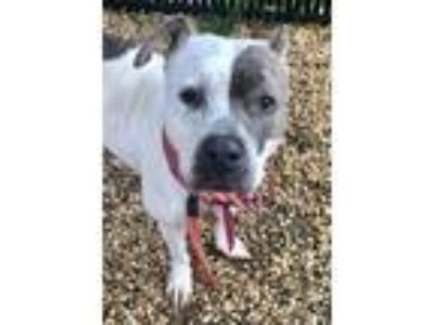 Adopt Banchee a American Staffordshire Terrier, Pit Bull Terrier