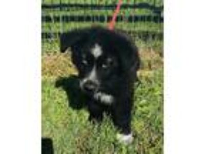 Adopt Chandler a Black - with White Australian Shepherd / Border Collie / Mixed