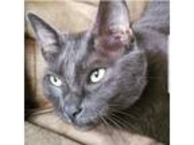 Adopt Chicken a Gray or Blue American Shorthair / Mixed (short coat) cat in