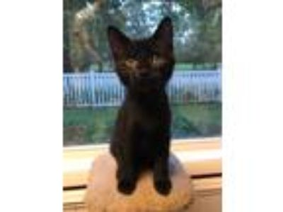 Adopt Biscuit a All Black Domestic Shorthair (short coat) cat in Barrington