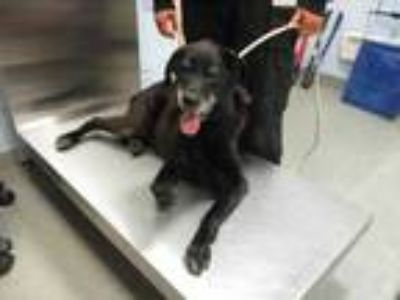 Adopt Arnold a Black Labrador Retriever / Mixed dog in Wantagh, NY (25301555)