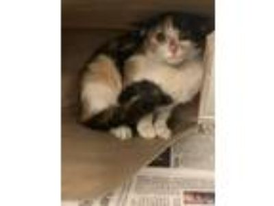 Adopt C Tiler a Domestic Short Hair