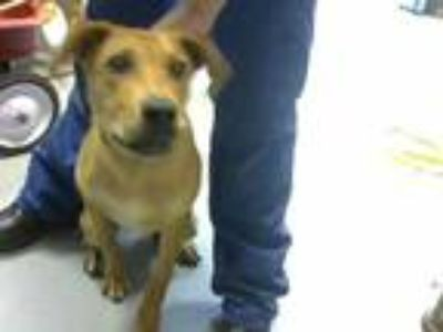 Adopt RINGO a Brown/Chocolate - with White Labrador Retriever / Mixed dog in