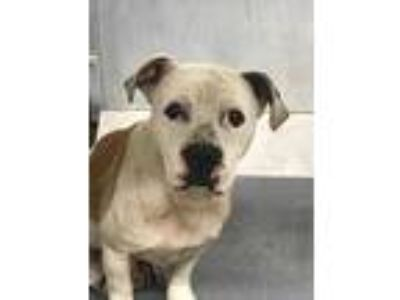 Adopt 40756452 a White American Pit Bull Terrier / Mixed dog in Fort Worth