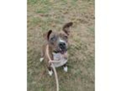 Adopt Delta a Brindle - with White American Staffordshire Terrier / Pit Bull