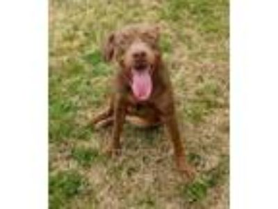Adopt Angie a Brown/Chocolate Labrador Retriever / Mixed dog in Graham