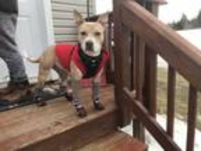 Adopt Rosie a Tan/Yellow/Fawn - with White Pit Bull Terrier / Mixed dog in New