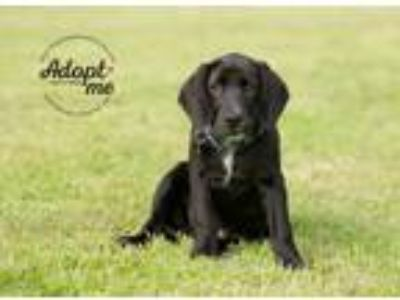 Adopt Ash a Black Basset Hound / Labrador Retriever / Mixed dog in Pearland