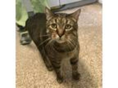 Adopt Theo a Brown Tabby Domestic Shorthair (short coat) cat in Indianola