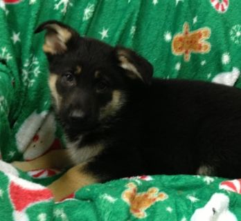 German Shepherd Dog PUPPY FOR SALE ADN-96554 - german shepherd puppy 3 females maryland