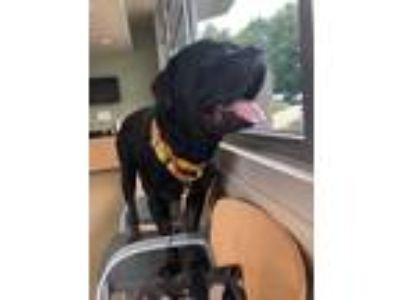 Adopt Floppy a Black - with Brown, Red, Golden, Orange or Chestnut Cane Corso /