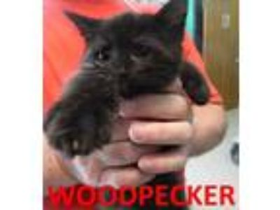 Adopt WOODPECKER a All Black Domestic Shorthair / Domestic Shorthair / Mixed cat