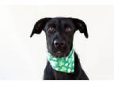 Adopt Carina a Black Labrador Retriever / Mixed dog in Seattle, WA (22095416)
