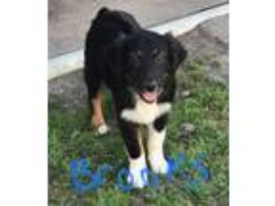 Adopt Brooks a Border Collie