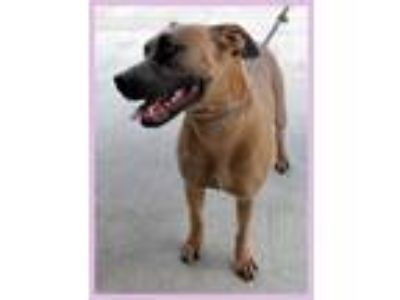 Adopt Alyssa a Red/Golden/Orange/Chestnut Boxer / Mixed dog in Lancaster