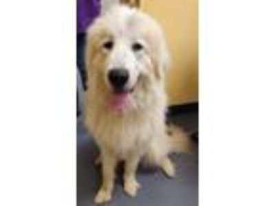 Adopt 19-05-1381 Jessie a Great Pyrenees