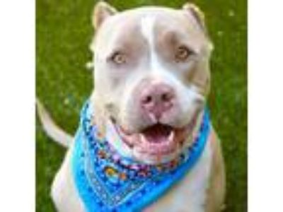 Adopt Chase - ECAS a Tan/Yellow/Fawn American Pit Bull Terrier dog in