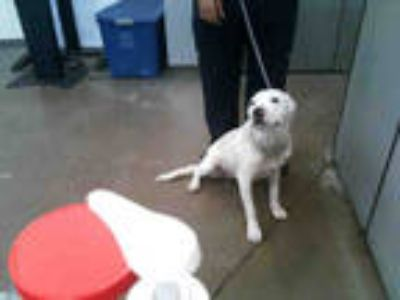 Adopt DIESEL a White - with Black American Pit Bull Terrier / Mixed dog in