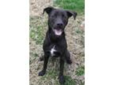 Adopt Smokey a Black Labrador Retriever / Mixed dog in Midland, VA (24681188)