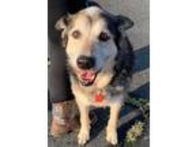 Adopt Eleanor Texas a Tricolor (Tan/Brown & Black & White) Shepherd (Unknown