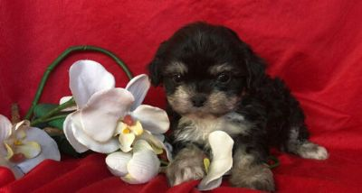 Mal-Shi-Maltese Mix PUPPY FOR SALE ADN-113937 - SHIH TZU AND MALTESE MIXED