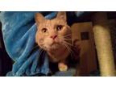 Adopt Dennis a Domestic Short Hair