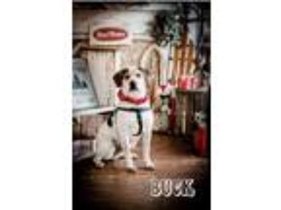 Adopt Buck a White - with Brown or Chocolate Hound (Unknown Type) / Mixed dog in