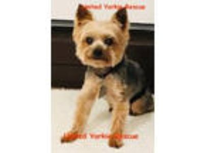 Adopt Rocco a Yorkshire Terrier