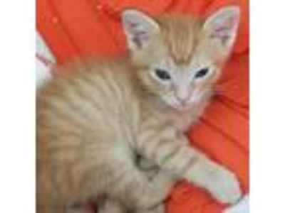 Adopt Oliver a Orange or Red Domestic Shorthair cat in Atlanta, GA (25916147)