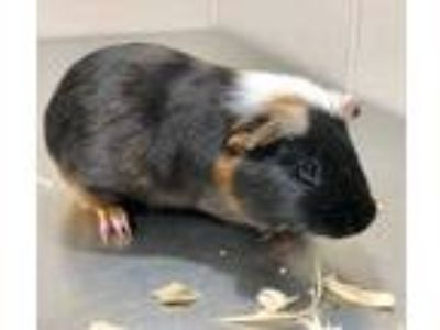 Adopt 41606916 a Black Guinea Pig / Mixed small animal in Bryan, TX (25198549)