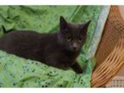 Adopt Peppa a Russian Blue, Domestic Medium Hair