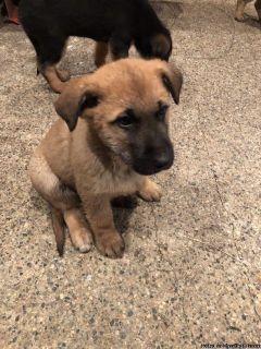 German Shepherd cross puppies