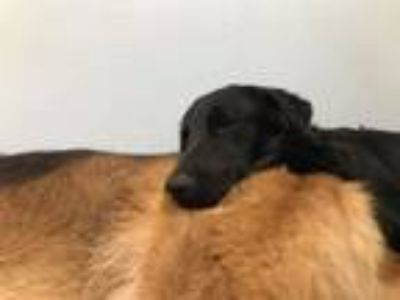 Adopt Patches a Labrador Retriever, Australian Shepherd