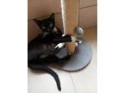 Adopt Duchess a All Black Domestic Shorthair / Mixed cat in Land O'Lakes