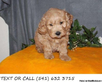 Hopeful!*Goldendoodle Puppies For Sale