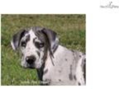 Sarge - AKC Blue Harlequin Great Dane Male Puppy